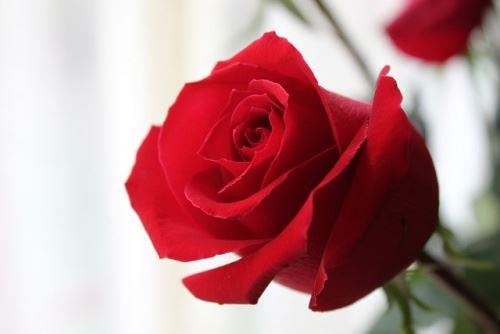 Роза в горшке на подоконнике