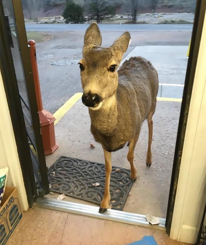 Продавец очень сильно удивилась, когда в магазин зашел олень, но на этом всё не закончилось