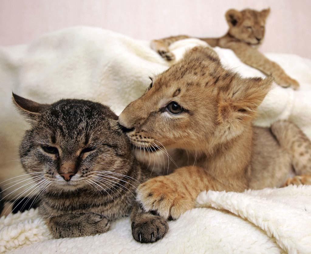 AnimalOddCouples 43 Самые странные парочки животных