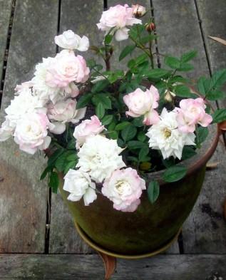 роза на террасе