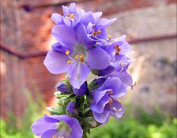 Лечебные свойства синюхи голубой: список показаний и рецепты приготовления