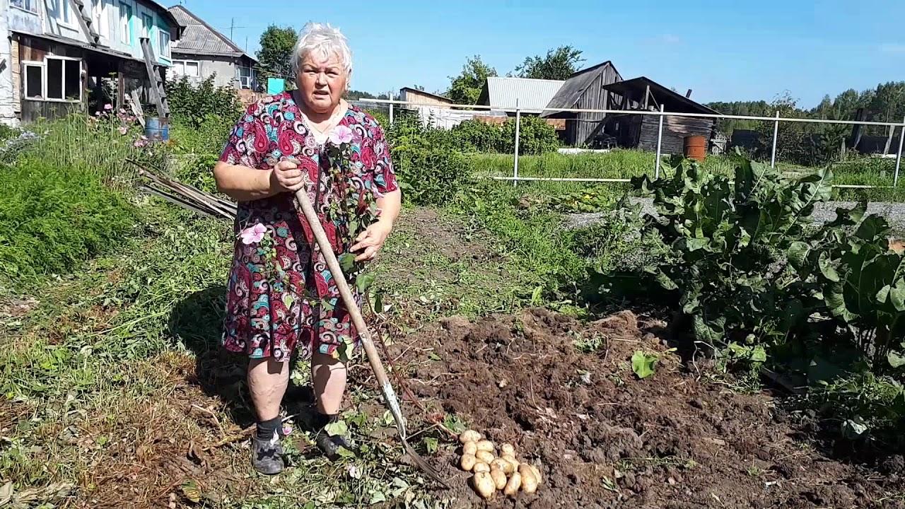 Правда ли, что за растущий на участке картофель могут оштрафовать?