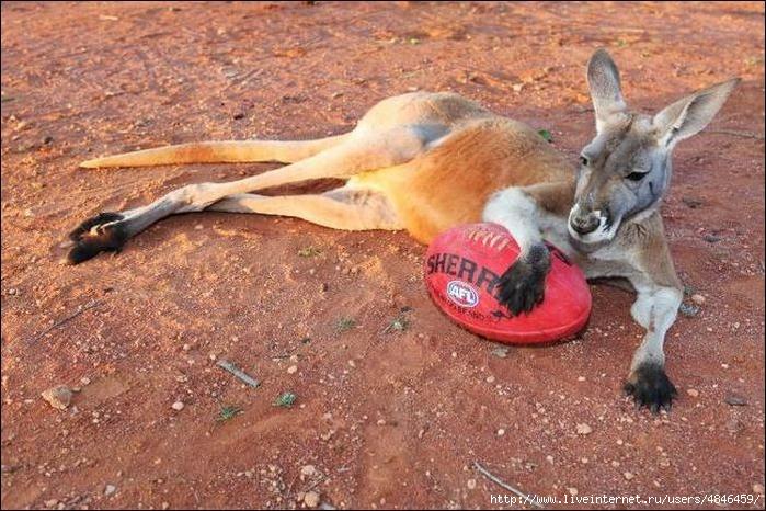 kangaroo-04 (700x466, 313Kb)