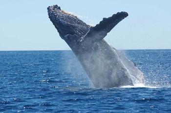 Более 40 горбатых китов погибло в США за год