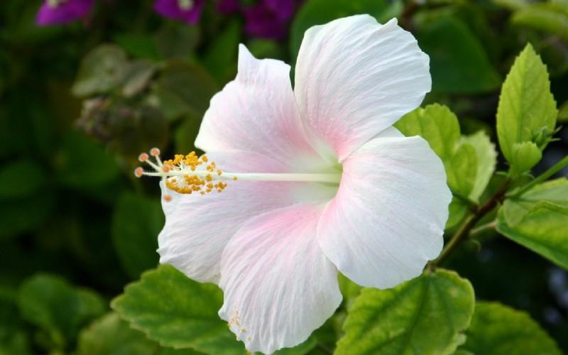 Hibiscus - taustakuvia