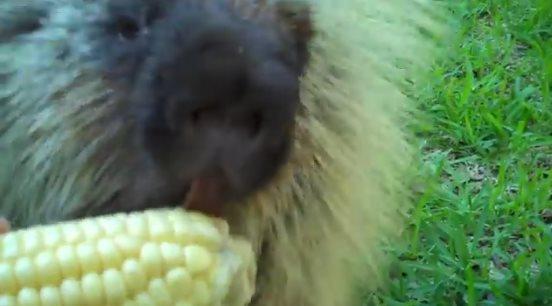 Говорящий дикобраз уплетает кукурузу. Взгляните, как он отреагировал на предложение поделиться деликатесом!