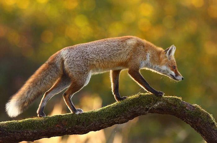 fox_20120409_00640_061 (700x500, 49Kb)