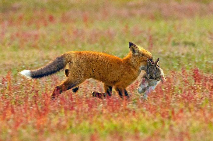 Орел и лиса, которые не смогли поделить добычу