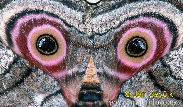 Крылья бабочки с «портретом» - это невероятно, но факт!