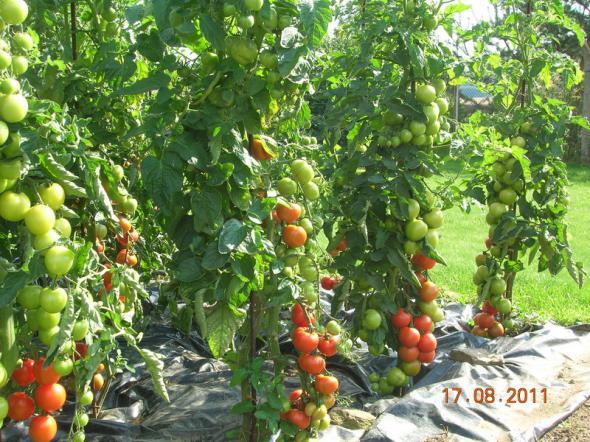 Урожай помидоров, повторение!