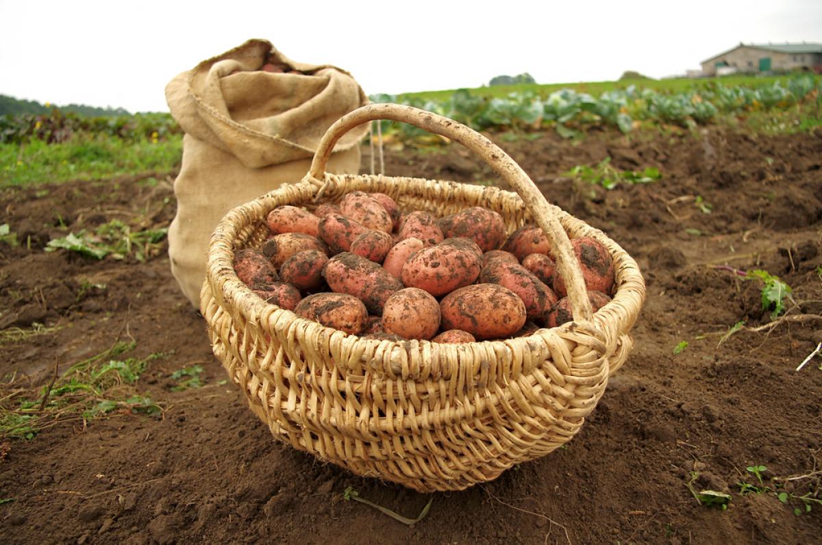 Планируем суперурожай картофеля