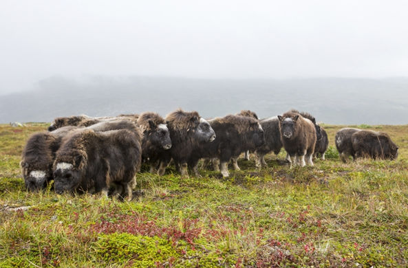 На необитаемый остров в Магаданской области доставили 25 телят овцебыков