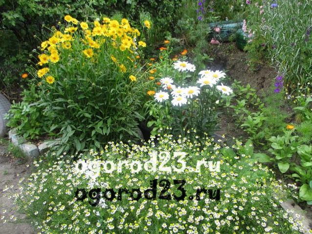 Цветы, похожие на ромашки, у вас в саду