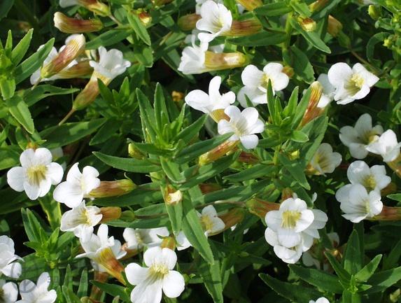Полезное растение авран лекарственный