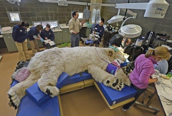 Вот так лечат полярных медведей