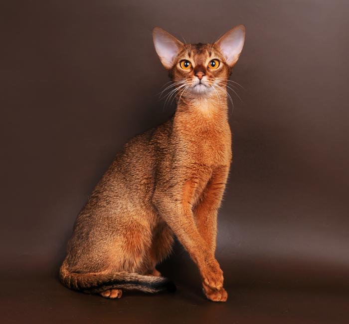 Одна из самых древних пород кошек. Неугомонная кошка жить не может без внимания хозяина.