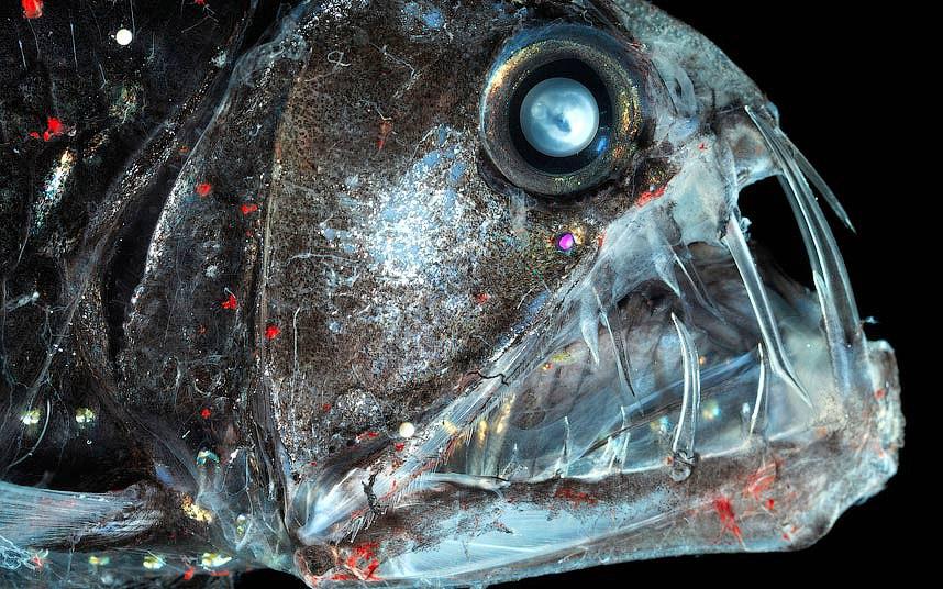 Рыба-гадюка