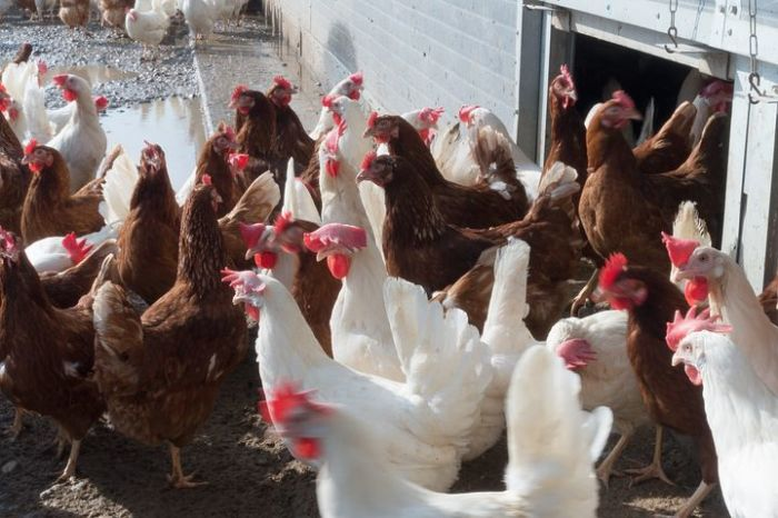 Разные куры, разные яйца. /Фото: pixy.org.