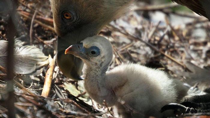 Гей-пара грифов усыновила птенца
