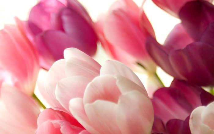 tulips_chiaralily_nc_display (700x438, 109Kb)