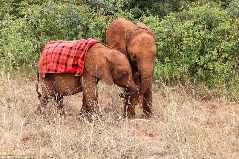 Слониха быстро поправилась и обрела друзей детеныш, животные, история, кения, люди, мир, слониха, спасение