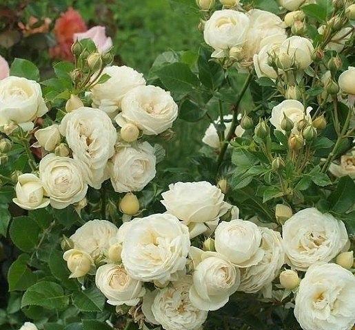 Эта подкормка для роз обеспечит обильное цветение