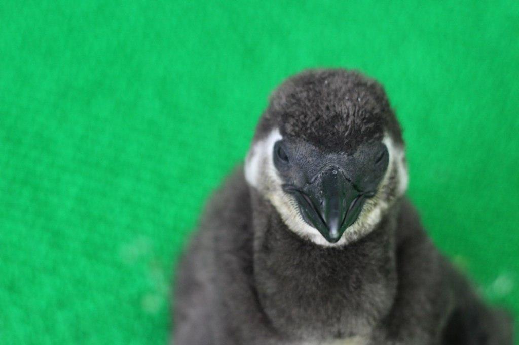 Первый очковый пингвин, который вылупился в России, из Красноярского зоопарка!