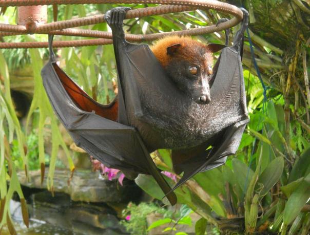 энциклопедия для детей: Летучая лисица