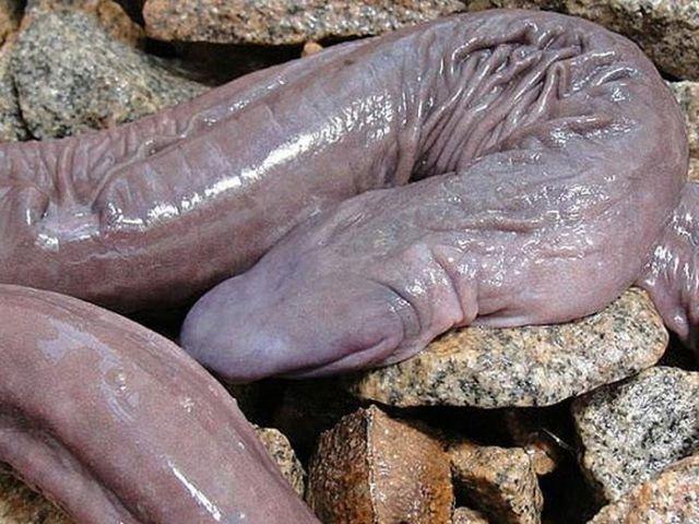 Змея-пенис на камнях