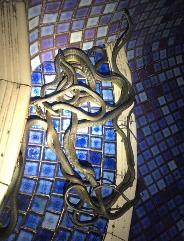 Просто змеиная оргия в бассейне австралия, змея