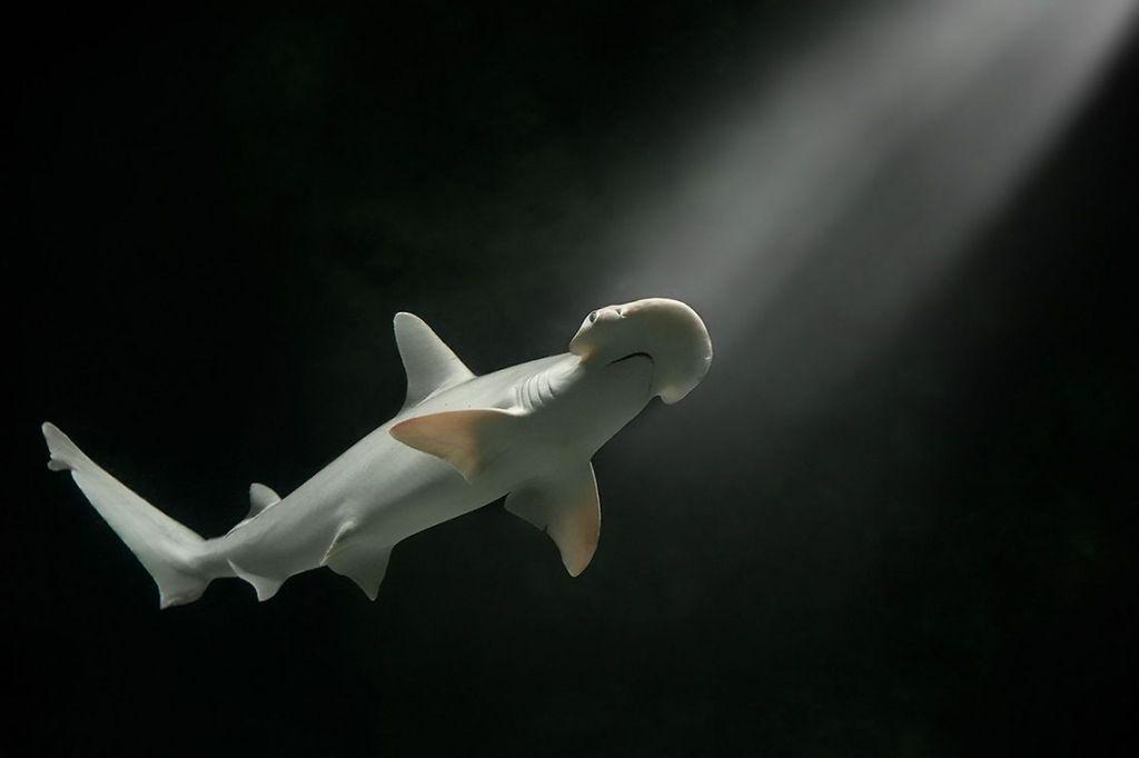 Обнаружена первая акула, питающаяся водорослями