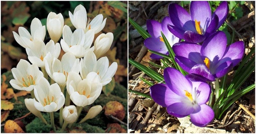 Выращиваем нежные осенние крокусы: тонкости ухода за цветком
