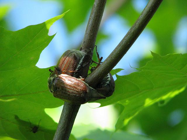 Ода майскому жуку