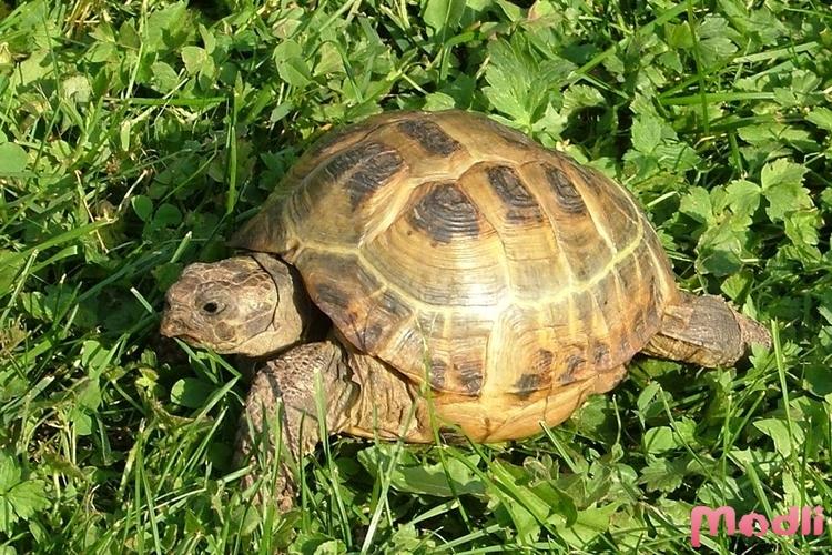Гавайская черепаха разгромил…