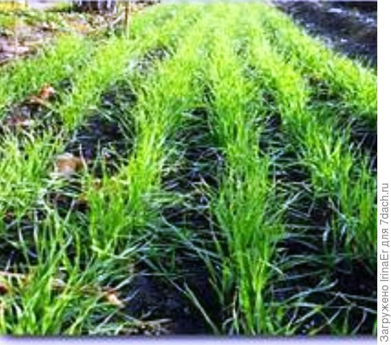 А ты знал, когда и зачем сеять сидераты? Органическое земледелие на юге