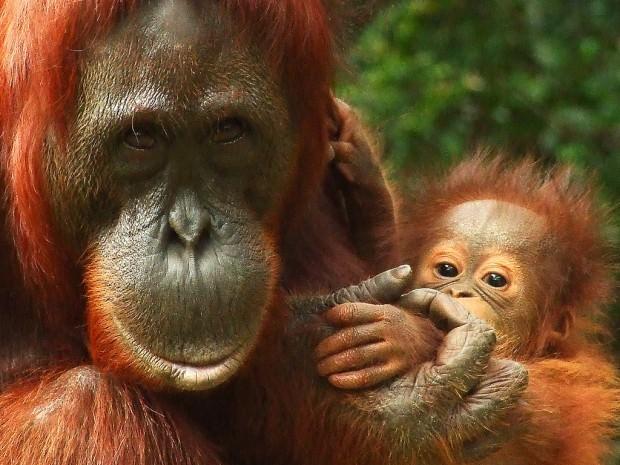 Животные от А до Я. Орангутаны