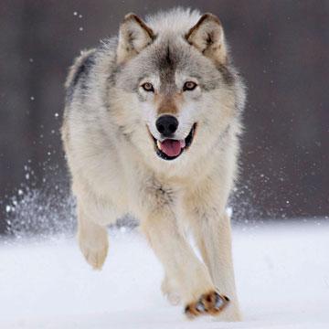 Животные от А до Я. Волки