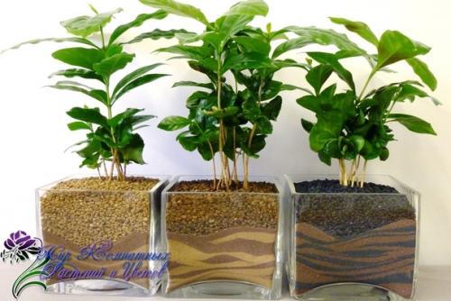 Записки цветовода: кофейное дерево.