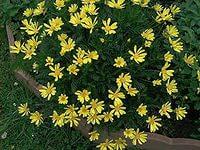 Эуриопс выращивание, посадка, уход Садовое растение Эуриопс на даче, в огороде, фото