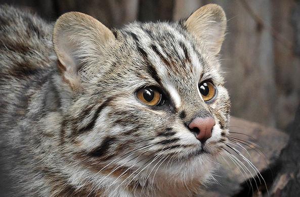 В Московском зоопарке появилась уникальная дикая кошка