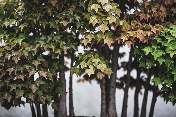 Клен. Выращивается с 1985 г. Фото: Stephen Voss.