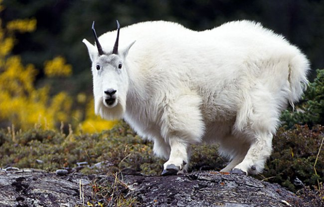 Снежная коза