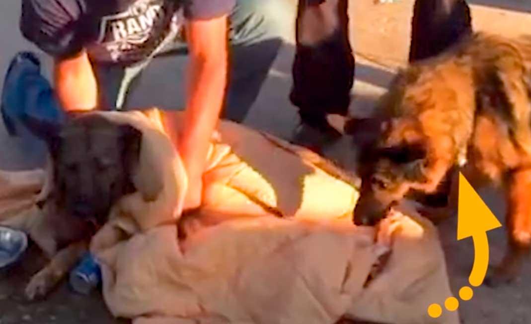 История собачьей верности: подруга не отходила ни на шаг от парализованной собаки