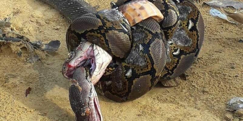 Когда в схватке нет победителя: королевская кобра против сетчатого питона
