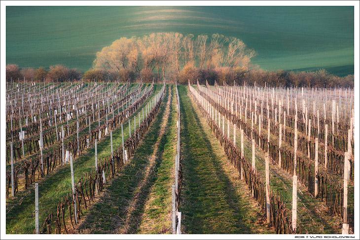 Линии виноградников