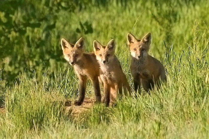 fox_20120409_00640_028 (700x500, 94Kb)