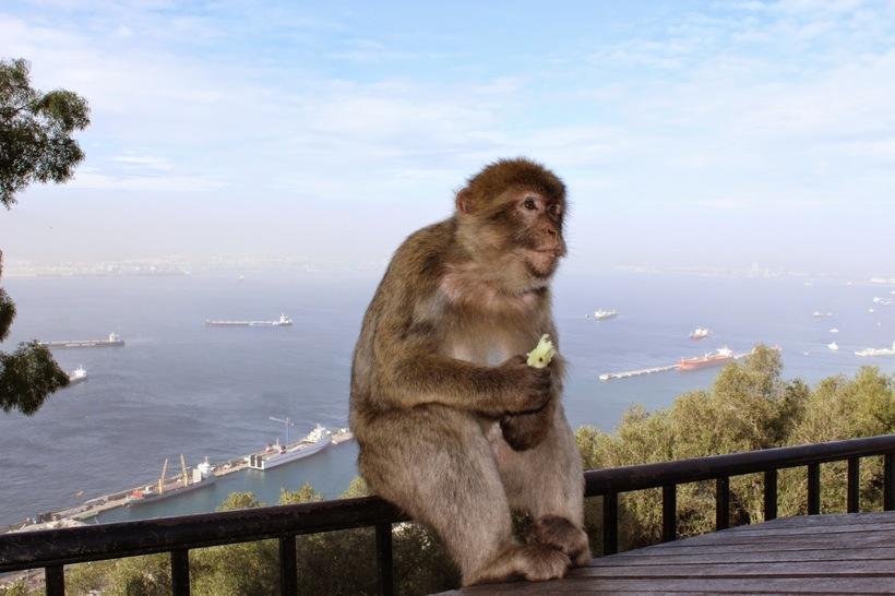 Макаки маготы — единственные приматы, живущие в дикой природе Европы
