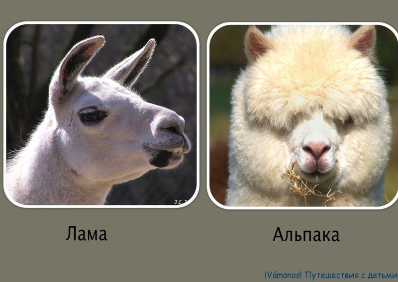 Альпака и Лама. В чем разница?