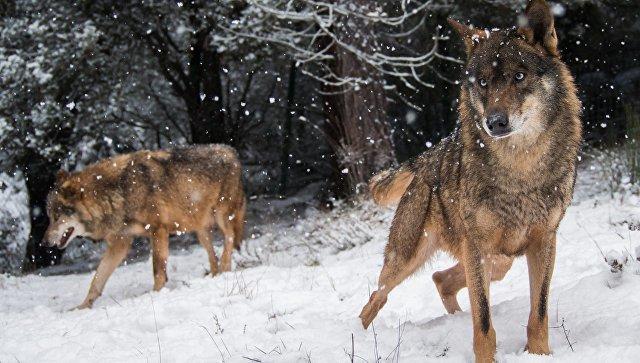 О рейде русских волков в Финляндию. Новогодний фельетон история, новогоднее, юмор