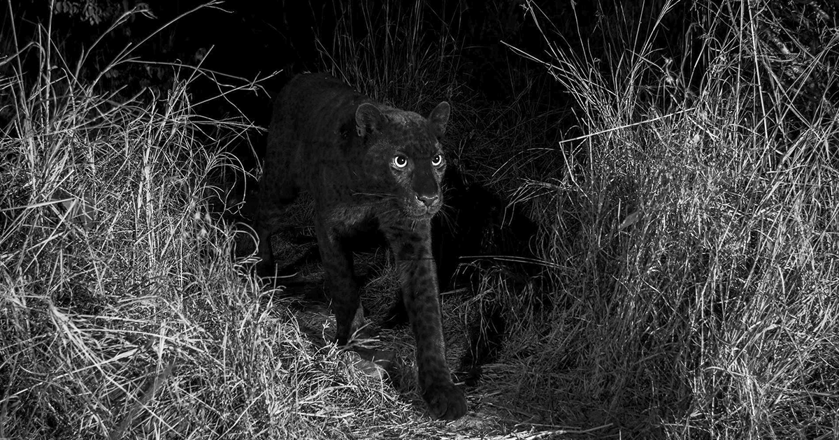 Rare Black Leopard Photographed In Africa For The First Time In 100 Years